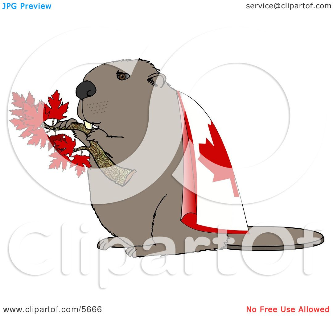 Canadian Beaver Holding Maple Tree Branch And Wearing