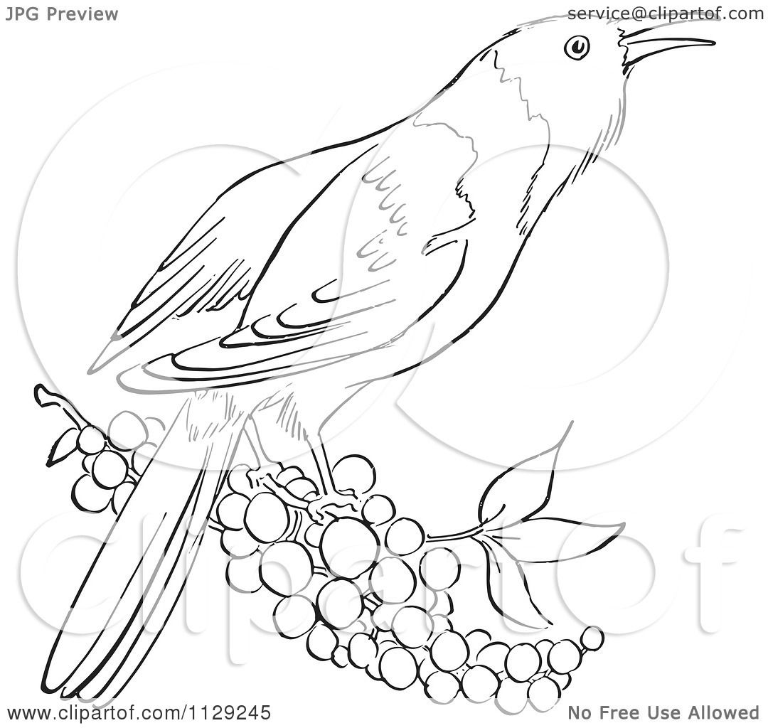 cartoon clipart of an outlined oriole bird with berries black