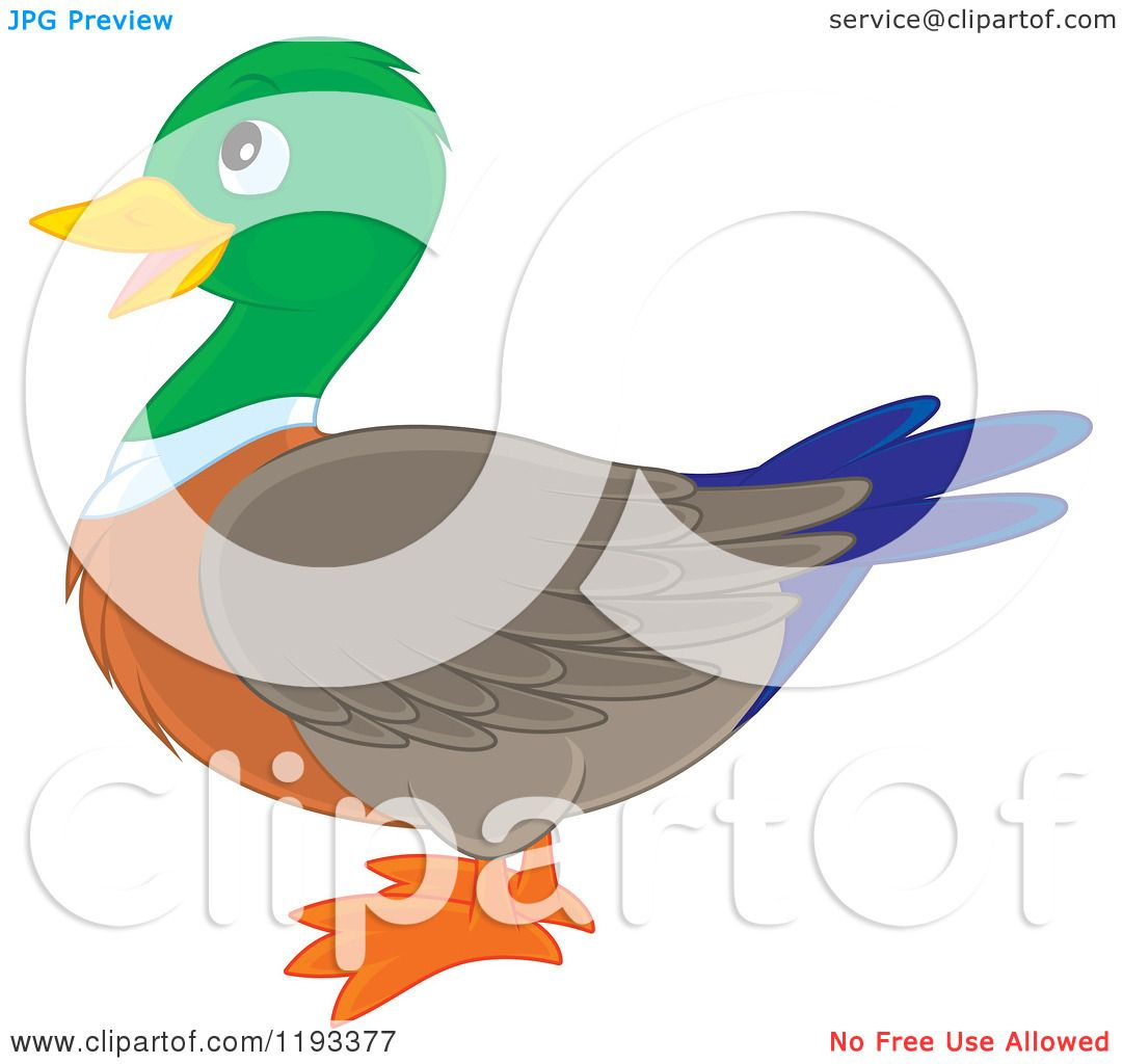 Mallard Stock Illustrations  1332 Mallard Stock