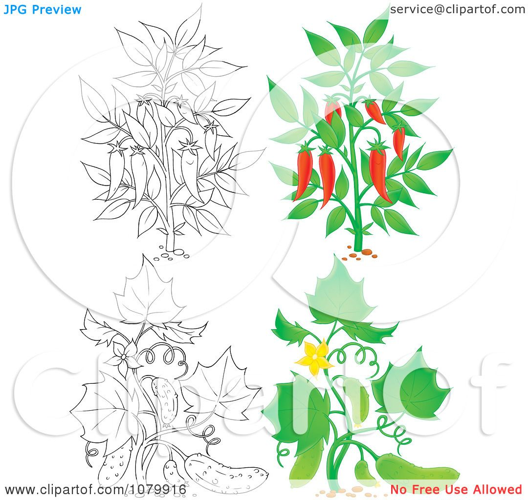 Clipart Chili Pepper And Cucumber Plants In Color And Outline ...