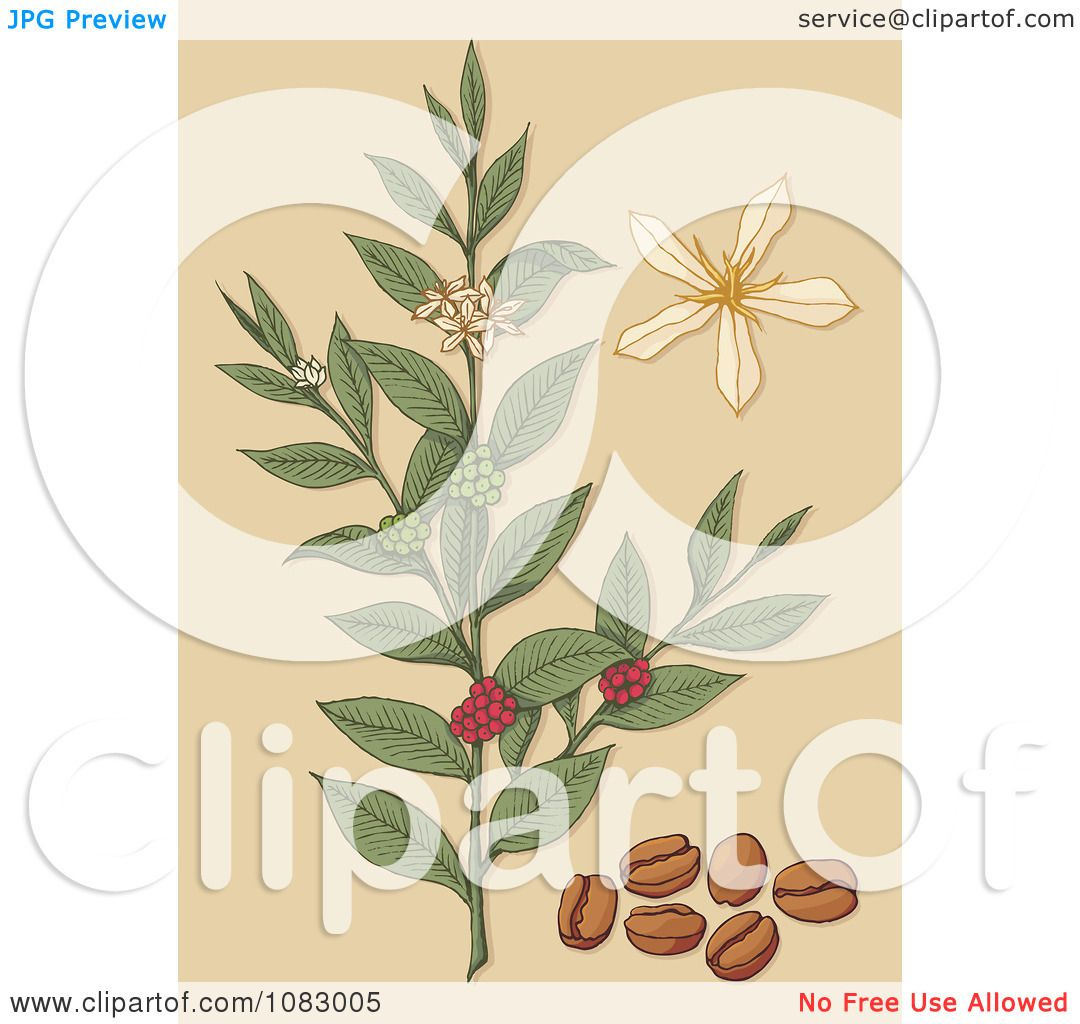 Clipart Coffee Plant With Beans Berries And Flowers ...