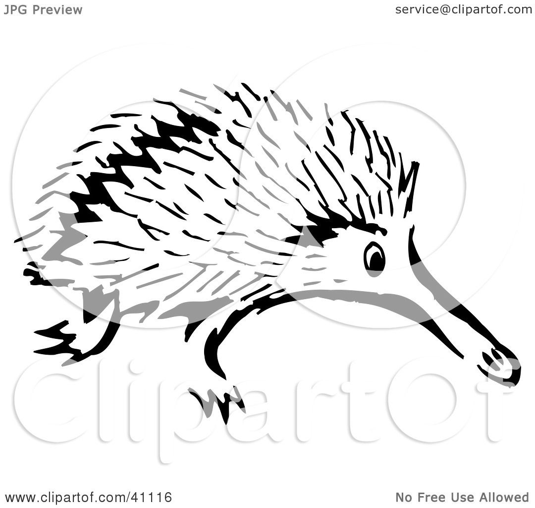 Cute Echidna Drawing White Sketch of an Echidna