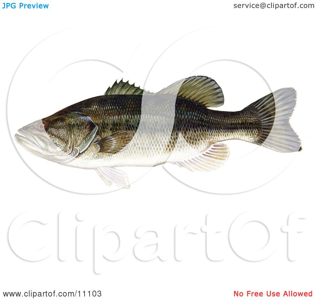Largemouth Bass Anatomy
