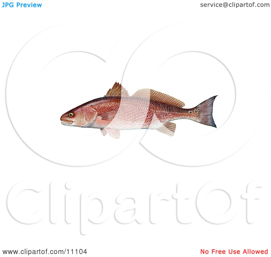 Displaying 17> Images For - Red Drum Drawing...