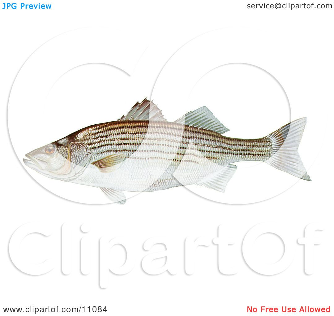 clipart illustration of a striped bass fish morone saxatilis by jvpd 11084. Black Bedroom Furniture Sets. Home Design Ideas