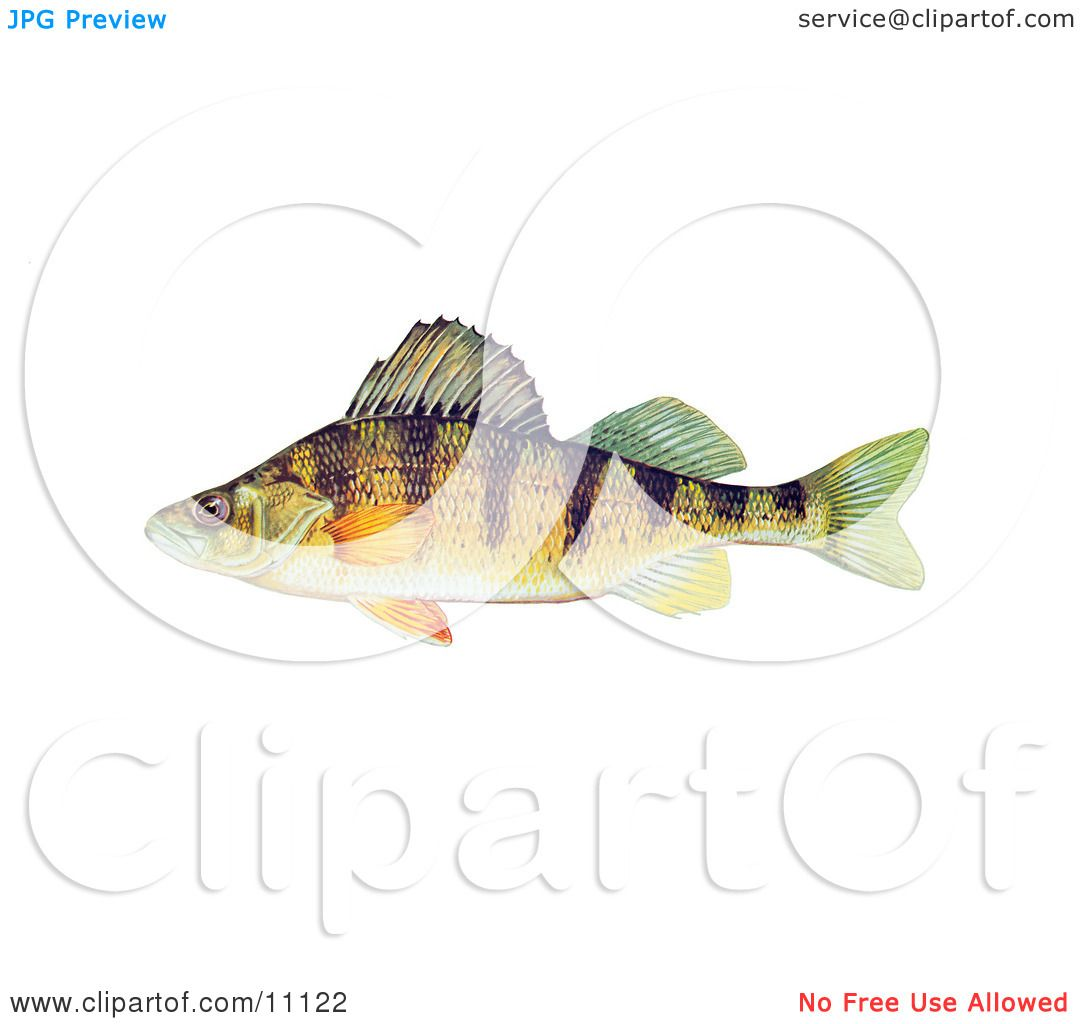 Clipart Illustration of a Yellow Perch Fish (Perca flavescens) by ...