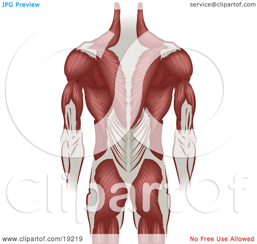 Clipart Illustration Of Ligaments And Muscle Of A Grown