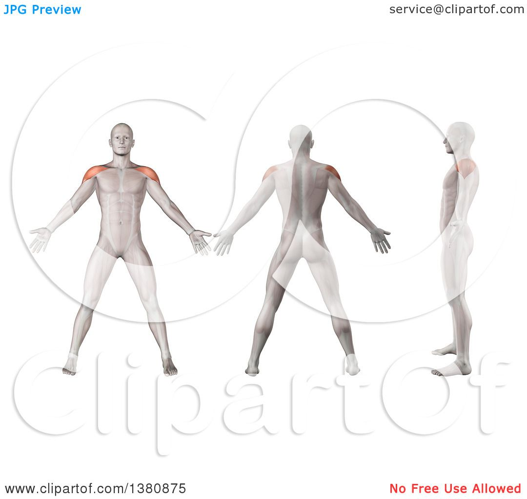 Clipart of 3d Anatomical Men Shown with Visible Deltoid Muscles ...