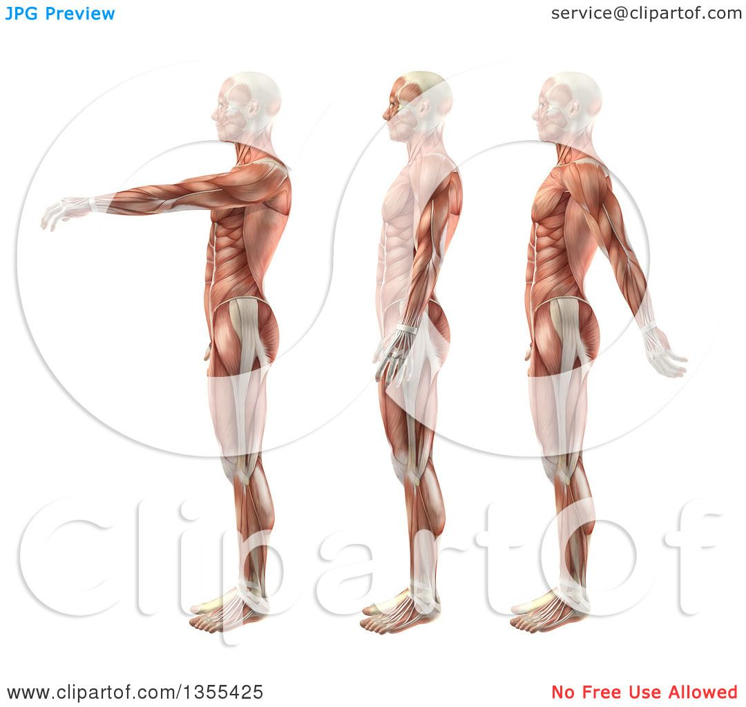 Clipart Of A 3d Anatomical Man With Visible Muscles Showing Shoulder