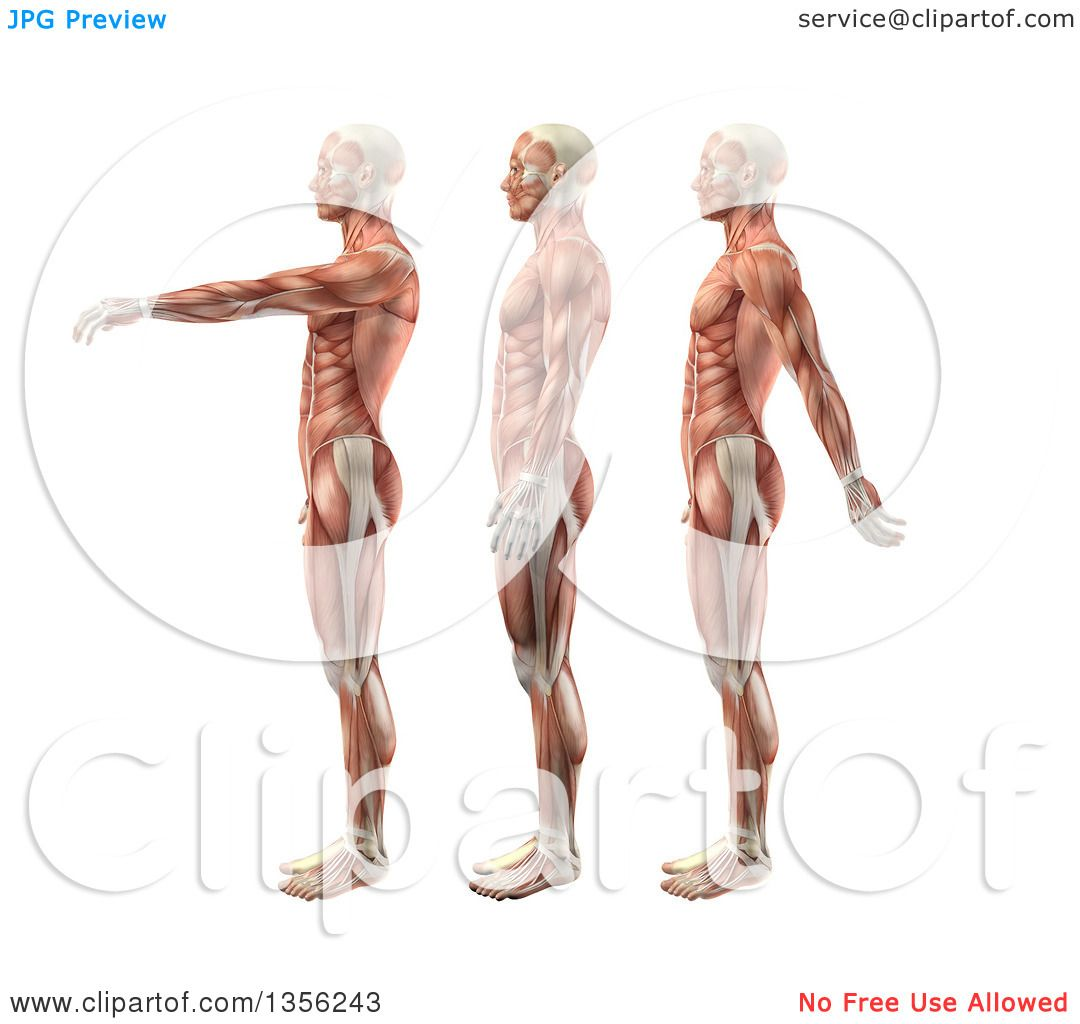 Clipart Of A 3d Anatomical Man With Visible Muscles Showing