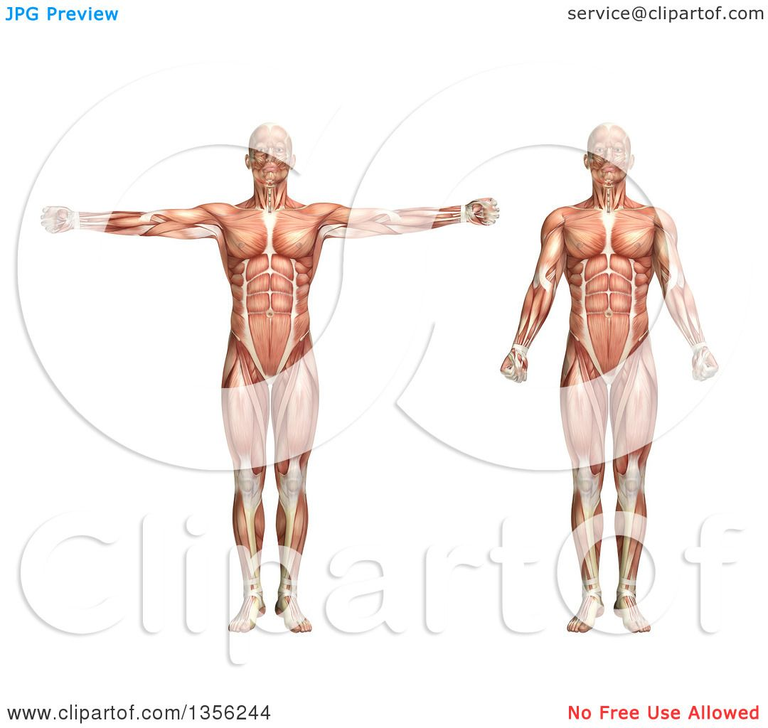 Clipart of a 3d Anatomical Man with Visible Muscles, Showing ...