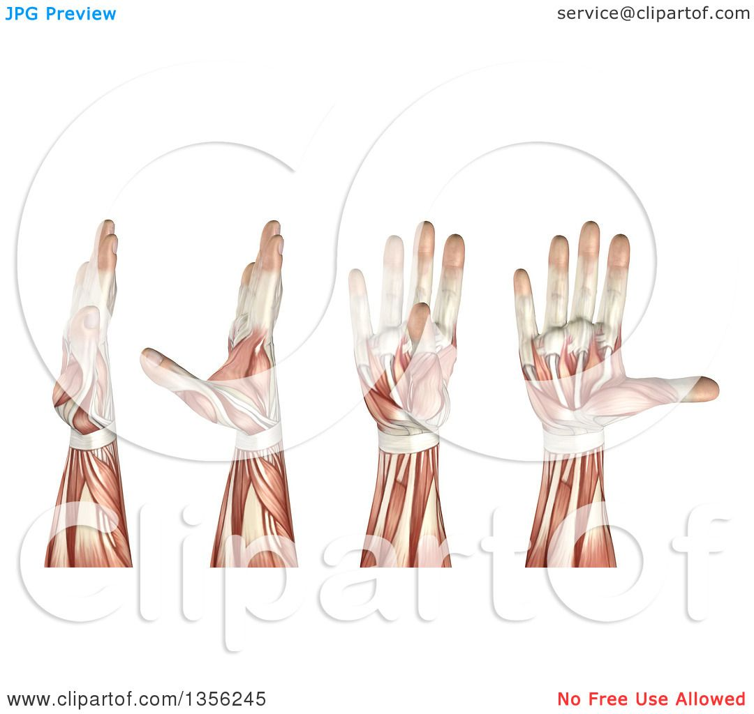 Clipart of a 3d Anatomical Man with Visible Muscles, Showing Thumb ...