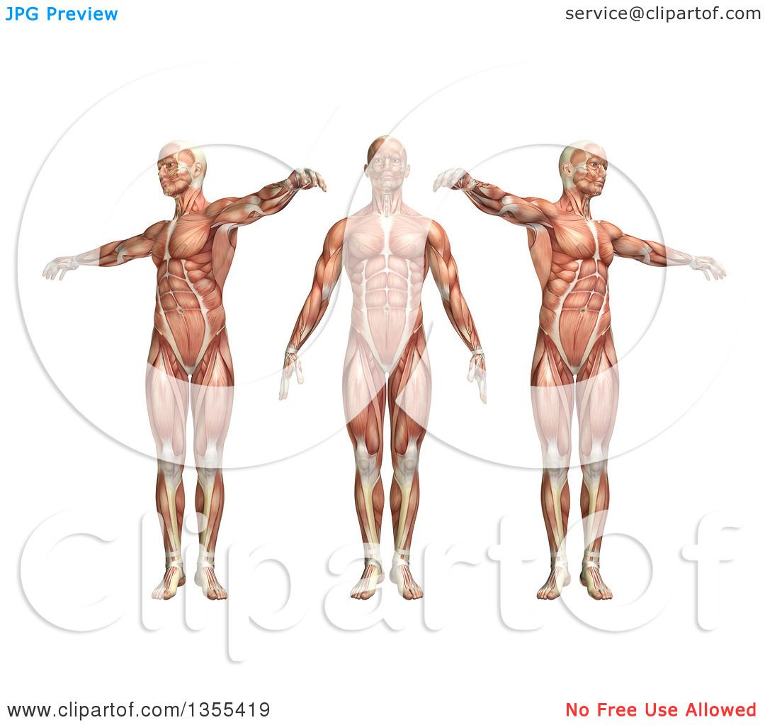 Clipart of a 3d Anatomical Man with Visible Muscles, Showing Trunk ...
