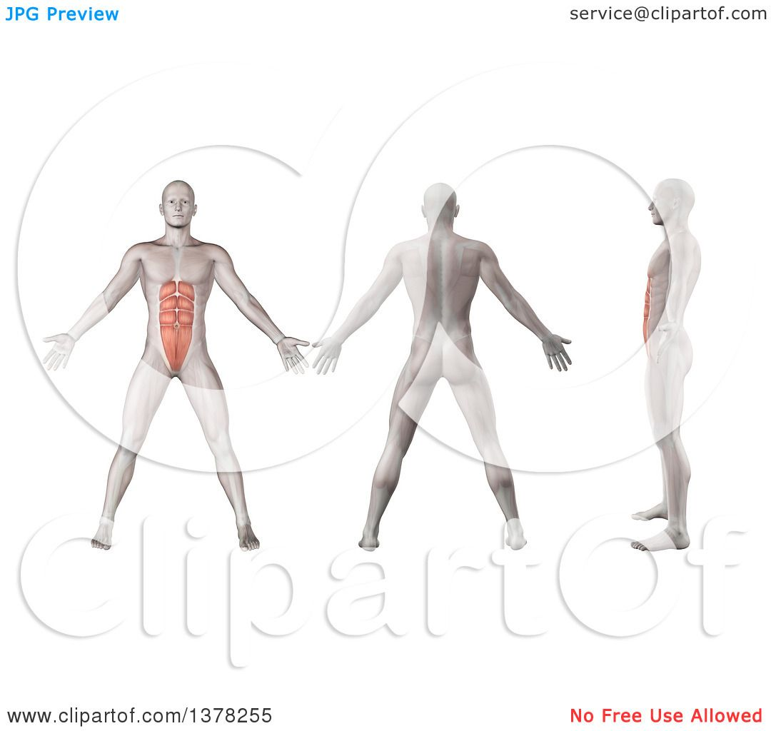 Clipart of a 3d Anatomical Men Shown with Visible Rectus Abdominis ...