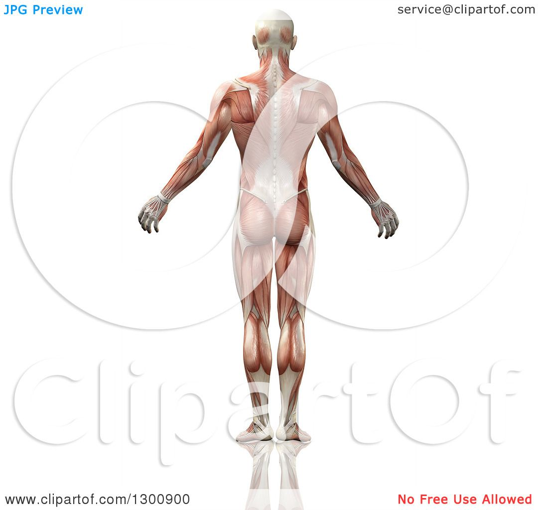 Clipart of a 3d Back Side of an Anatomical Male with Visible Muscle ...