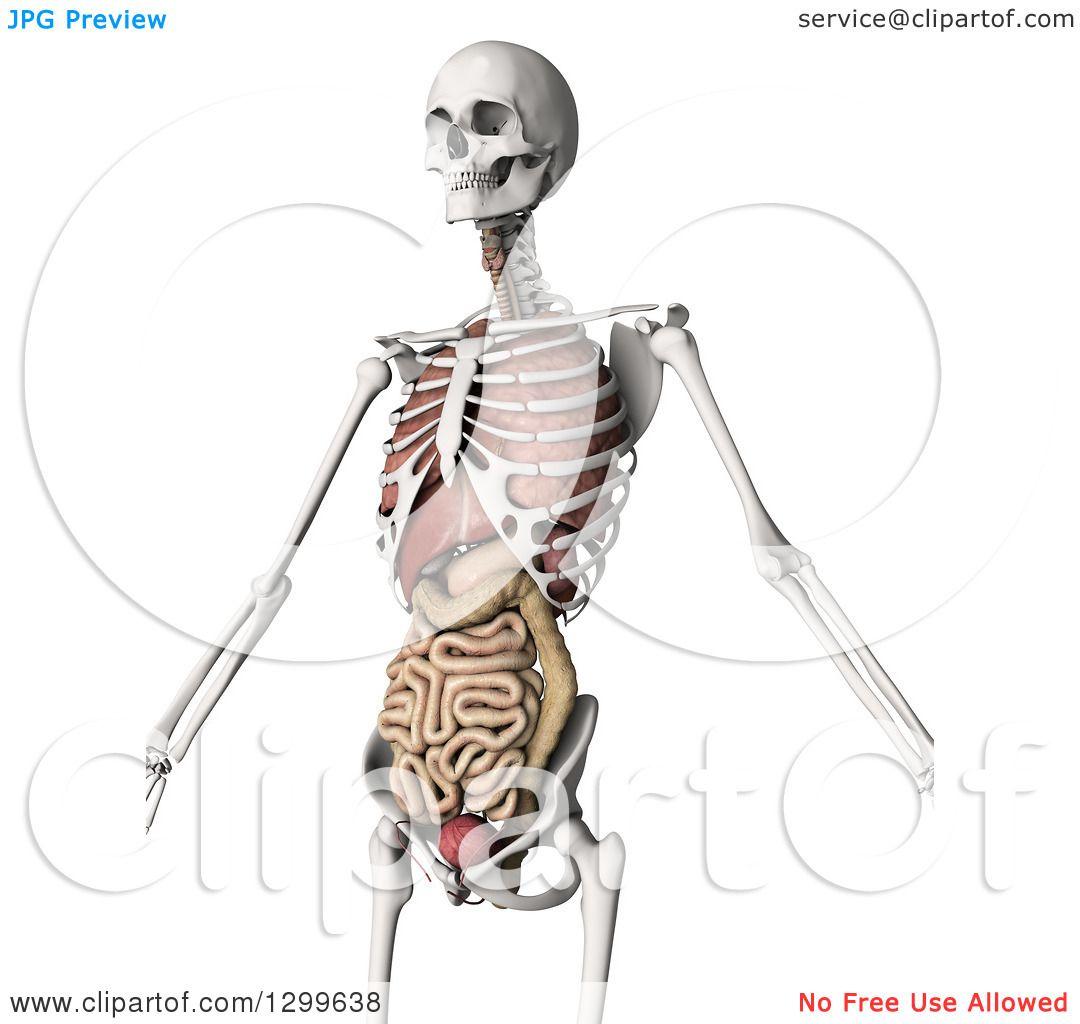Internal Body Parts Clip Art