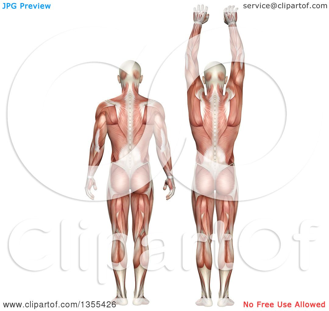 Clipart of a 3d Rear View of an Anatomical Man with Visible Muscles ...