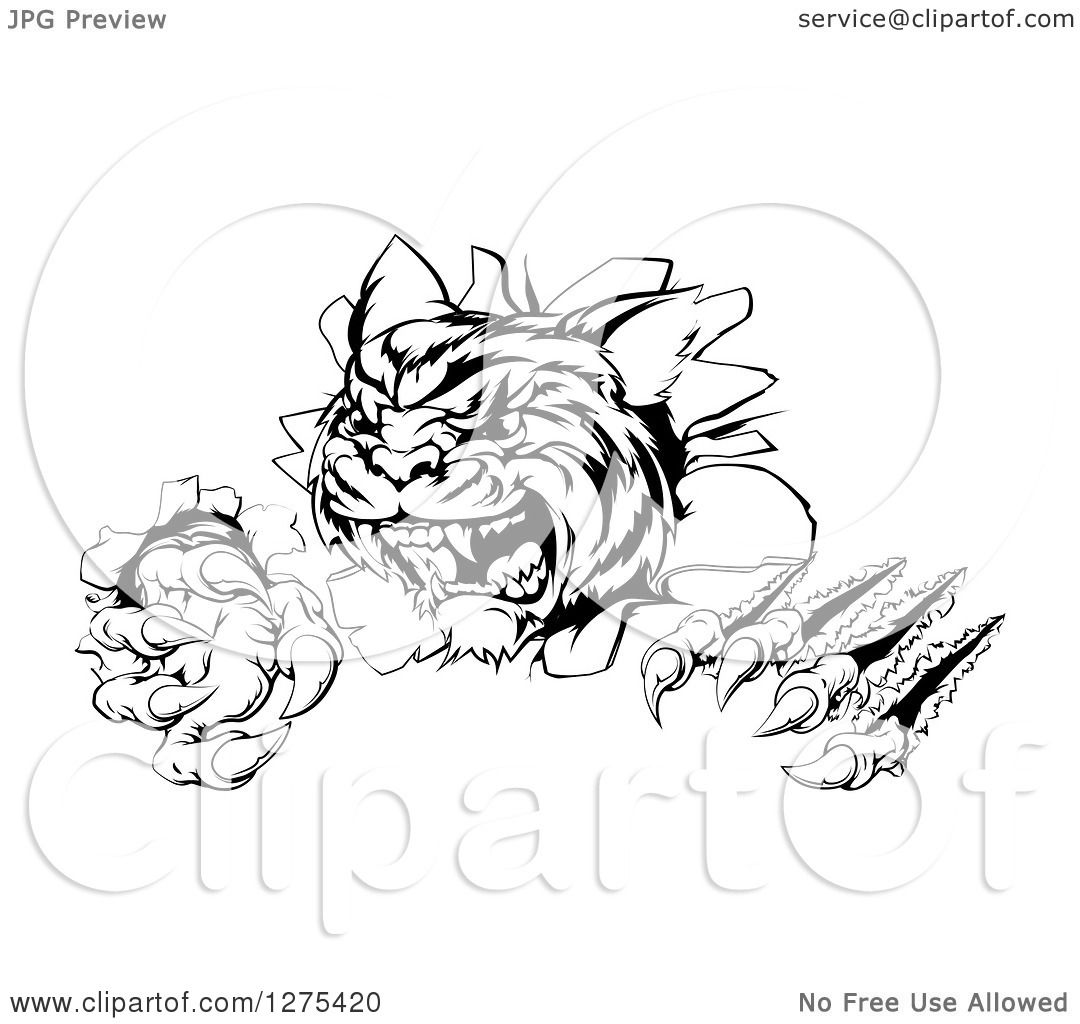 Clipart of a Black and White Angry Tiger Mascot Slashing ...