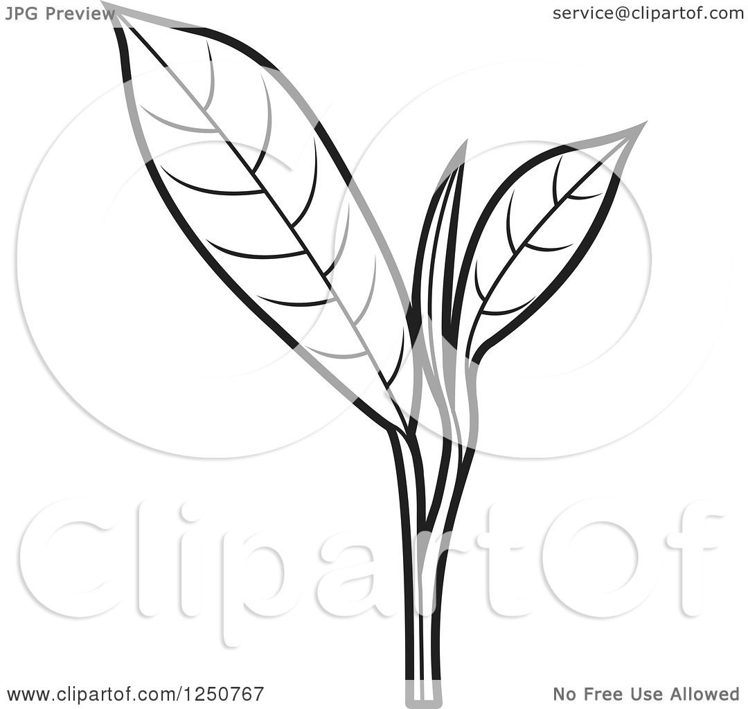 Clipart Of A Black And White Tea Leaf Plant Royalty Free
