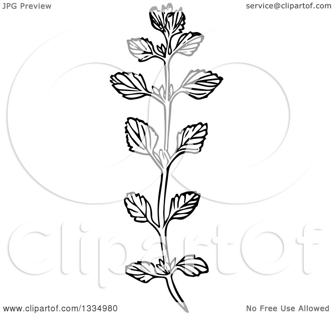 Clipart of a Black and White Woodcut Herbal Medicinal Lemon Balm ... for Clipart Lemon Black And White  45gtk