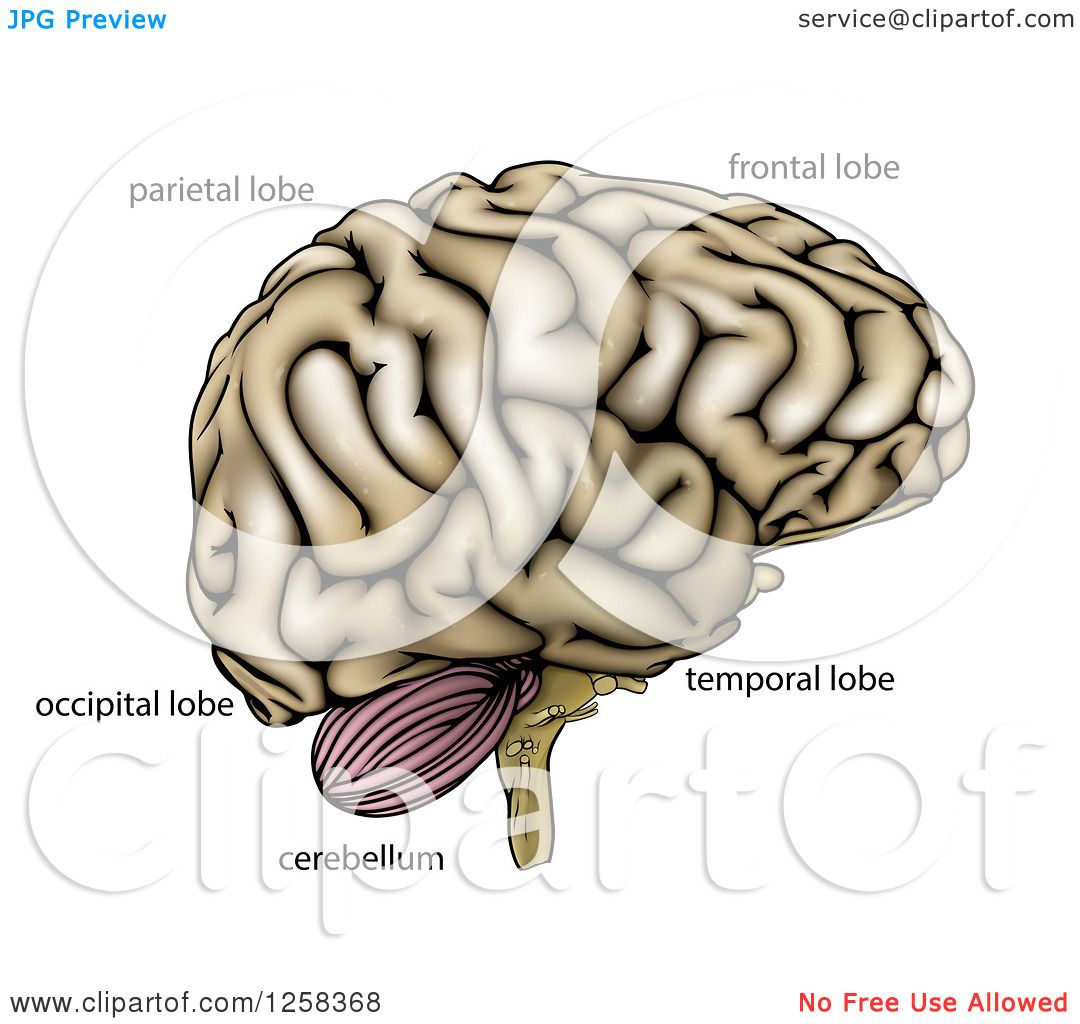 Clipart of a Human Brain with Anatomically Correct Section Labels ...