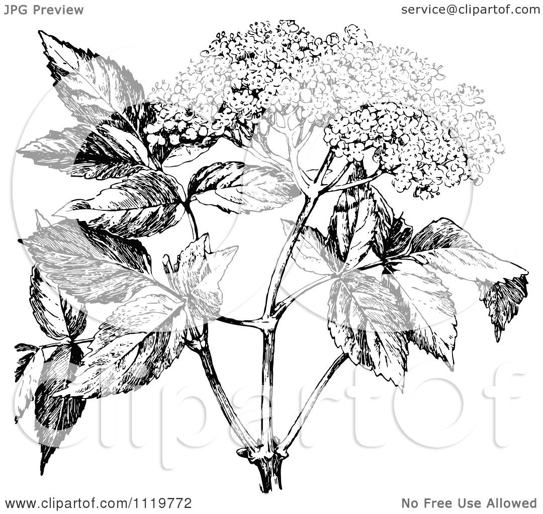 Classic Retro Illustration: Clipart Of A Retro Vintage Black And White Elder Flower