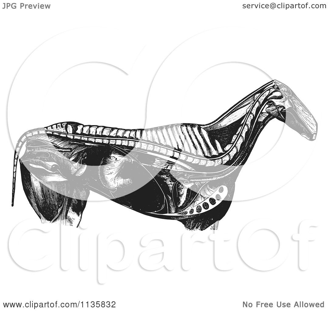 Clipart Of A Retro Vintage Engraved Horse Anatomy Of Internal Bones ...