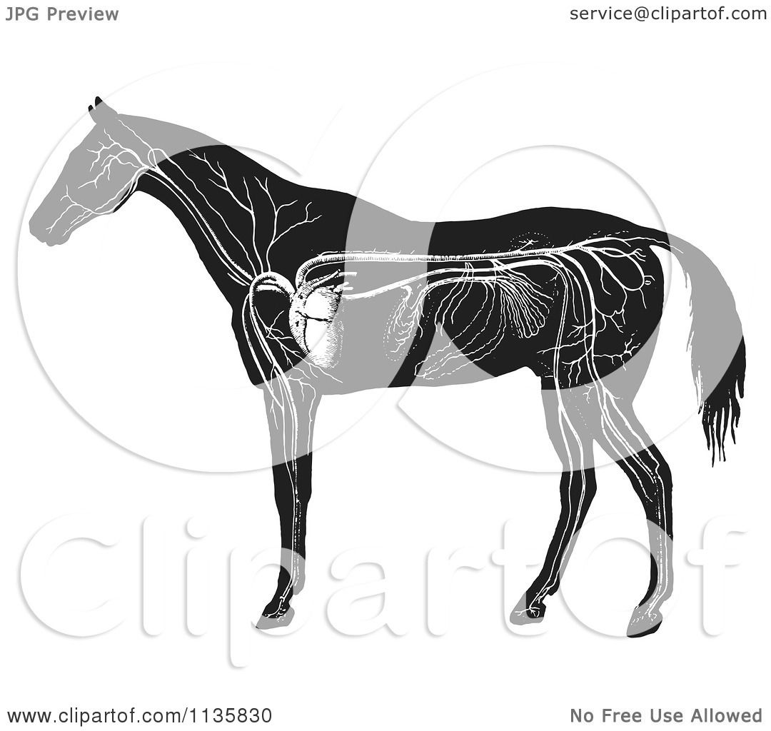 Clipart of a retro vintage engraved horse anatomy of the circulatory clipart of a retro vintage engraved horse anatomy of the circulatory system in black and white royalty free vector illustration by picsburg ccuart Images