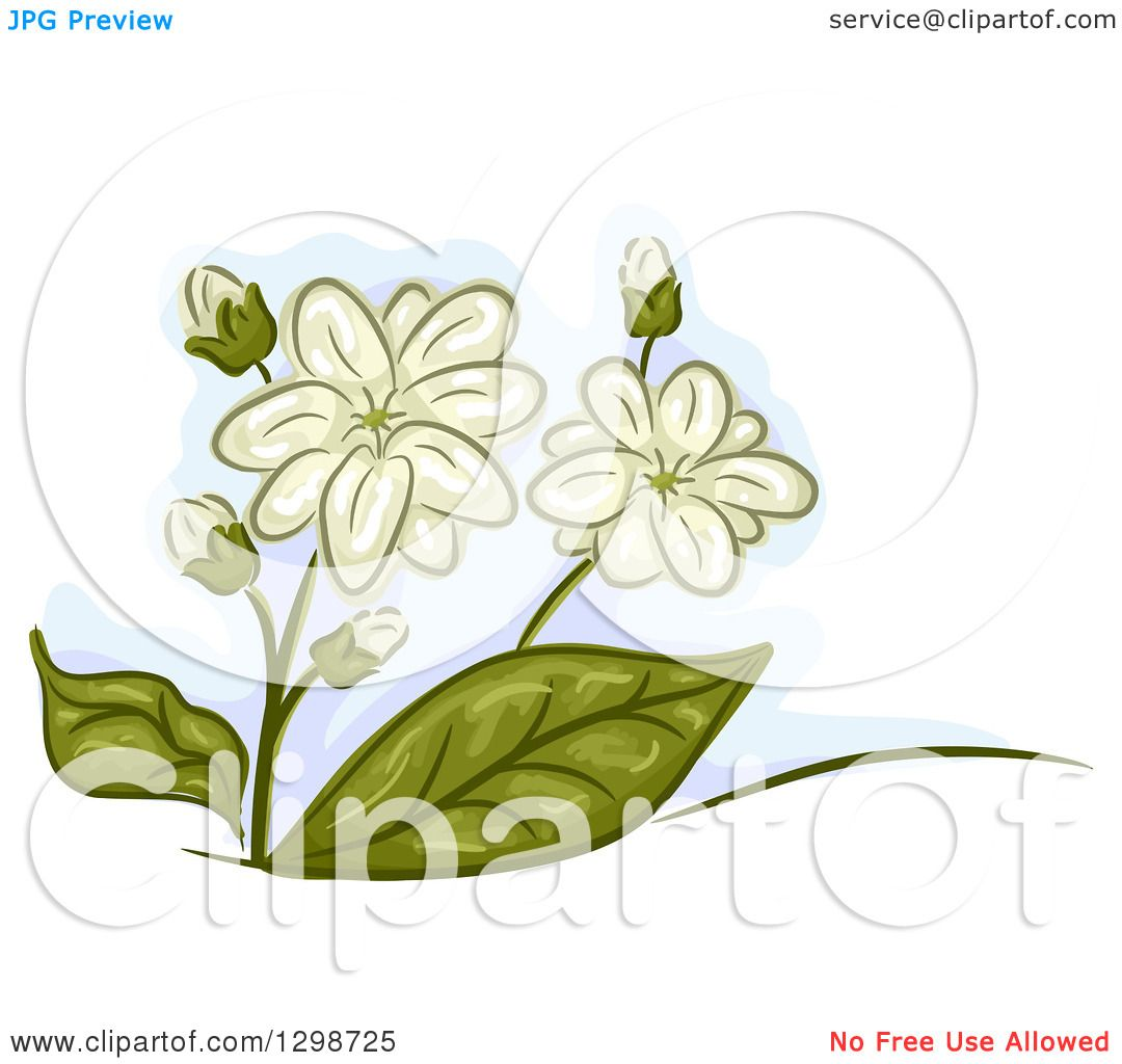 Clipart Of Jasmine Flowers And Leaves Royalty Free Vector