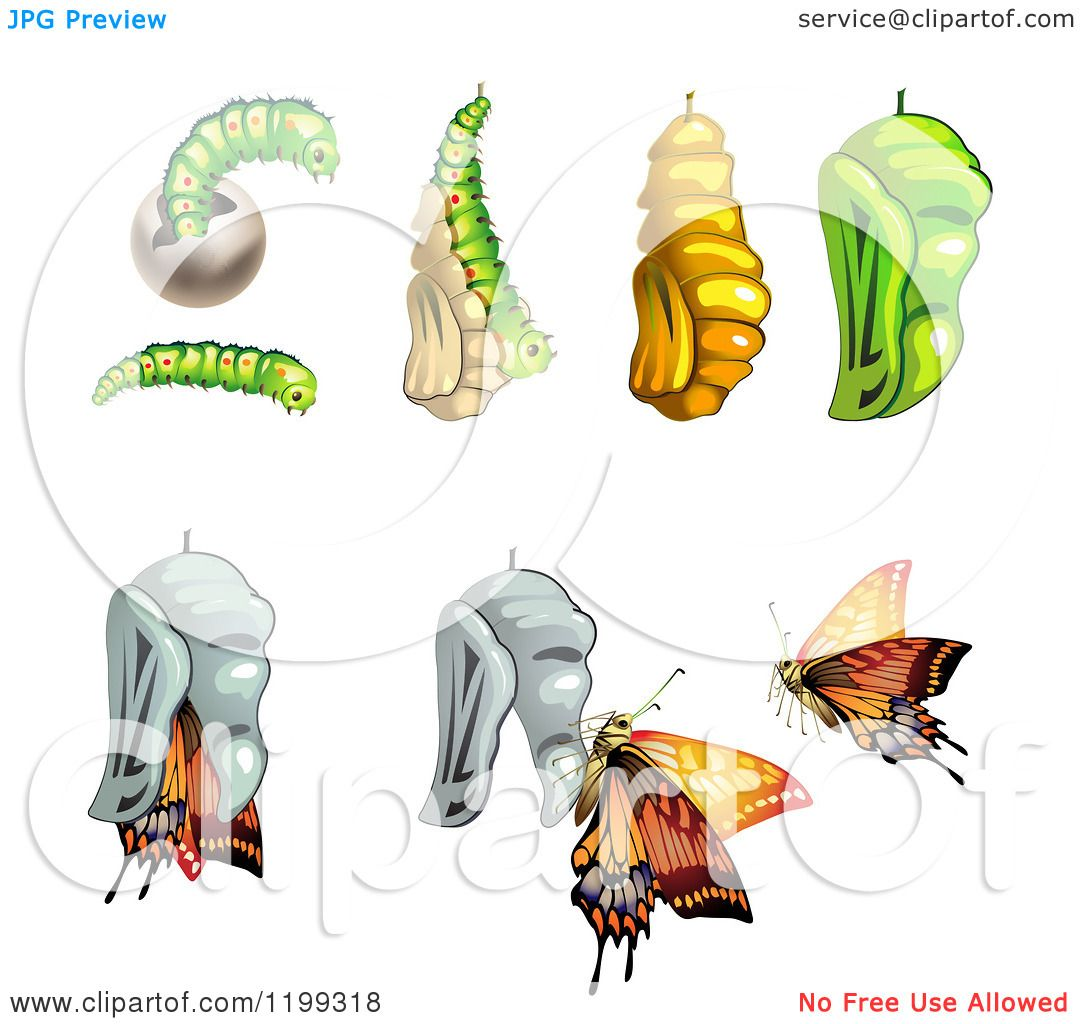Clipart Of Stages Of The Butterfly From Cocoon To Adult 2