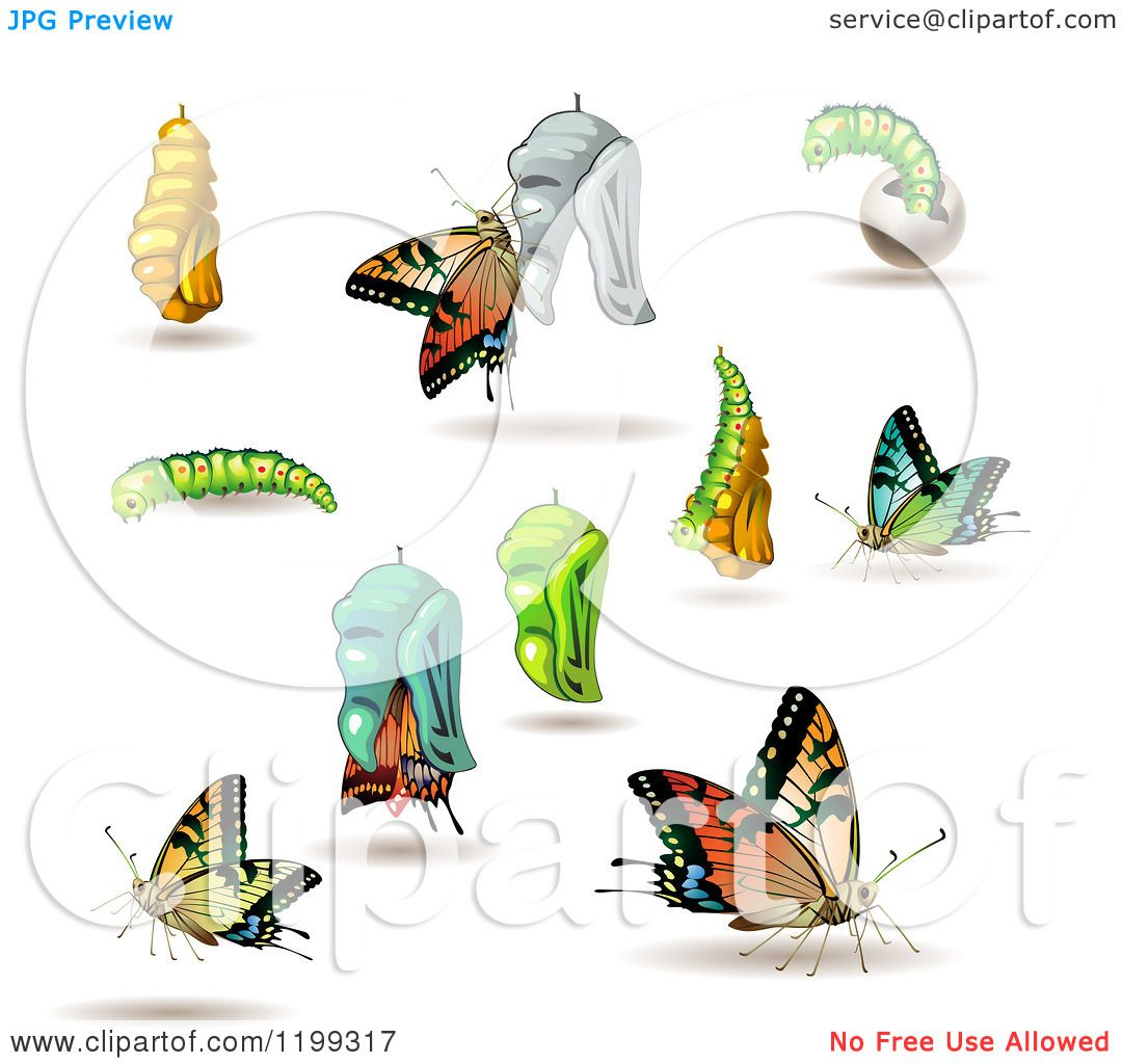 Clipart Of Stages Of The Butterfly From Cocoon To Adult