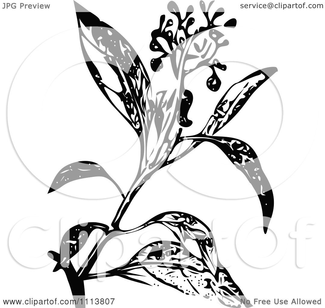 Clipart Retro Black And White Camphire Henna Plant With Flowers