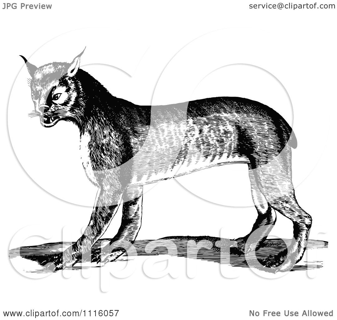 Clipart Retro Vintage Black And White Bobcat Royalty Free Vector