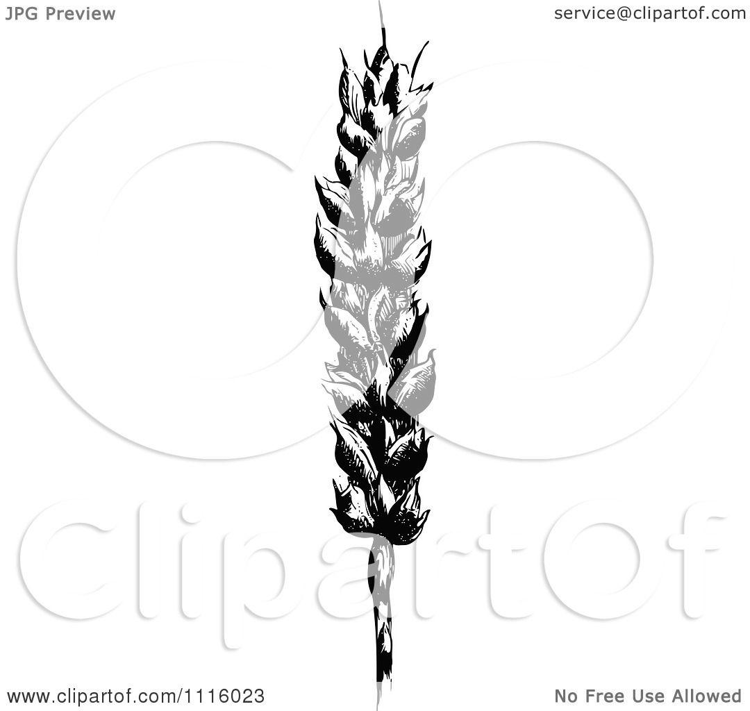 And White Wheat Stalk ...