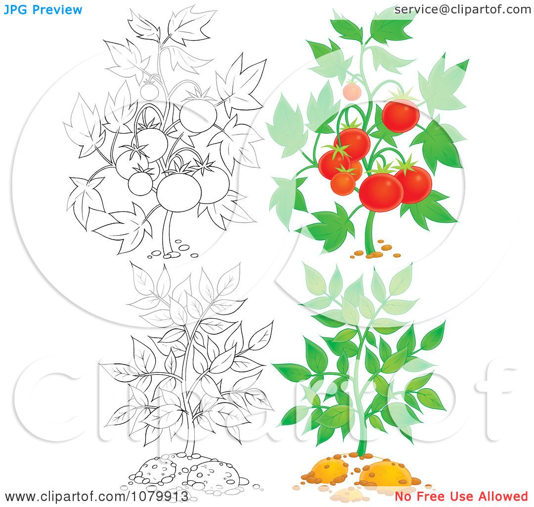 Clipart Tomato And Leafy Plants In Color And Outline ...