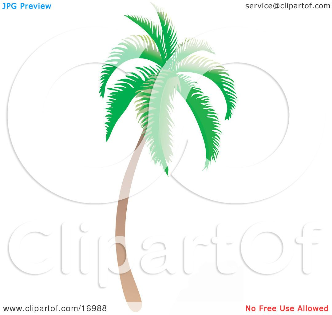 Coconut Palm Tree With Green Foliage, Curving Slightly And Leaning ...