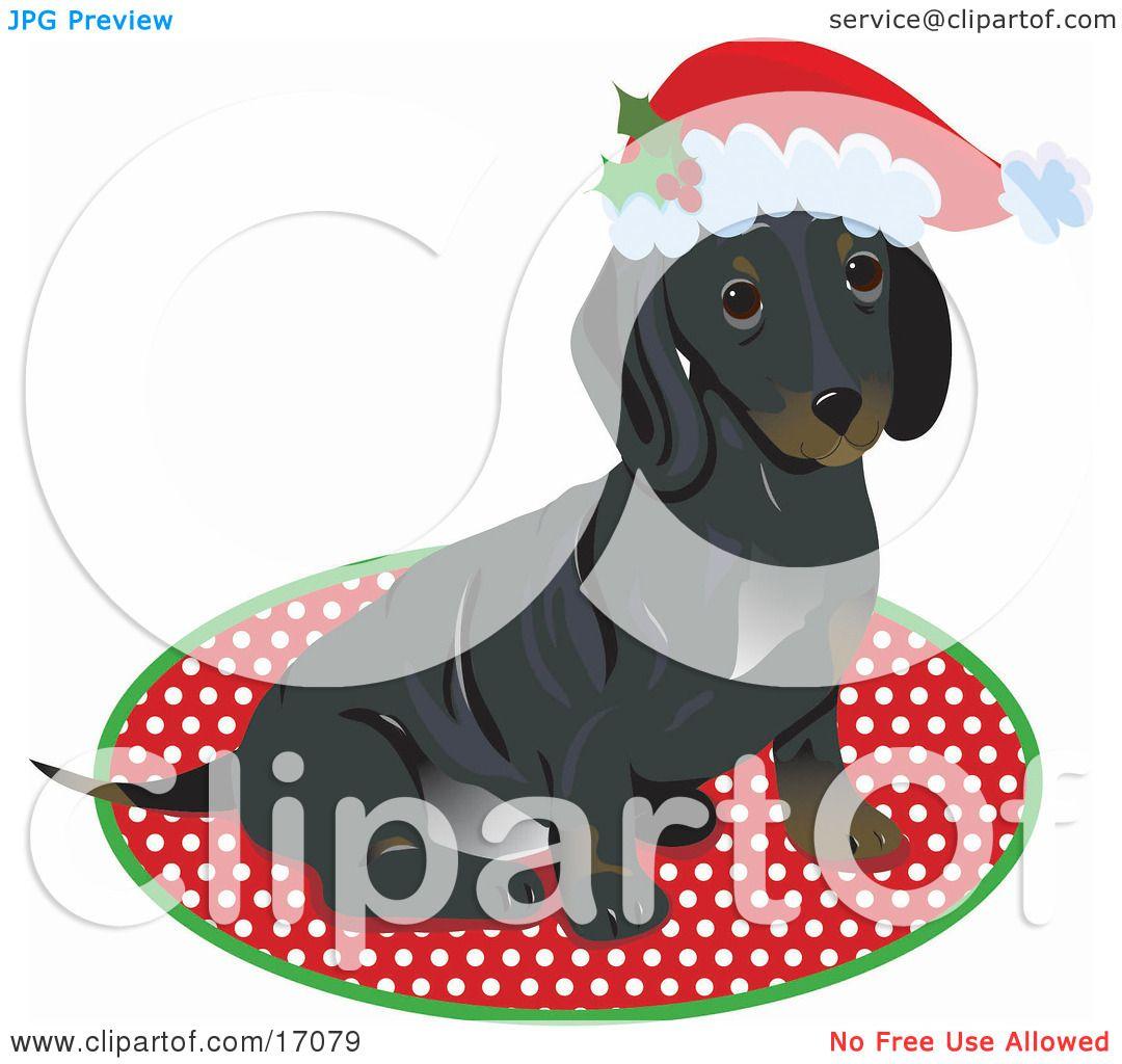 Cute Little Dachshund Puppy Dog Wearing A Santa Hat And Sitting On ...
