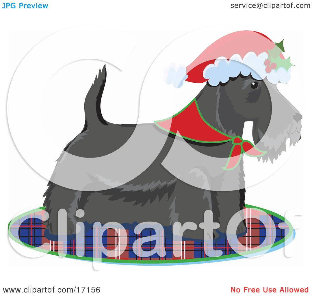 Scottie Scottish Or Aberdeen Terrier Puppy Dog Wearing A
