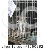 Caged Persion Cat For Adoption At The Animal Shelter Royalty Free Stock Photo by Kenny G Adams