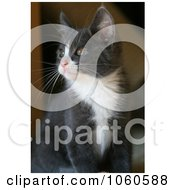 Gray And White Kitten Looking Outside Stock Photo by Kenny G Adams