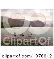 Historical Cattle Wading In The Water Derwent Water Lake District England Royalty Free Stock Photography