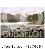 Historical Cows Wading In The Water Derwent Water Lake District England Royalty Free Stock Photography