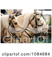 Marine Corps Mounted Color Guard On Palaminos Free Stock Photography