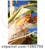 Organic Sweet Yellow Corn On The Cob Royalty Free Stock Photo by Kenny G Adams
