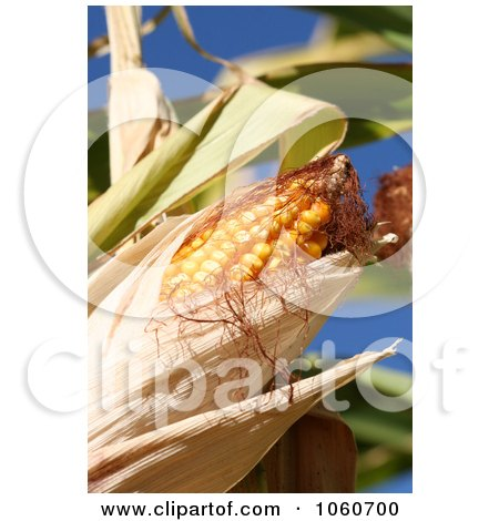 Organic Sweet Yellow Corn On The Cob - Royalty Free Stock Photo by Kenny G Adams