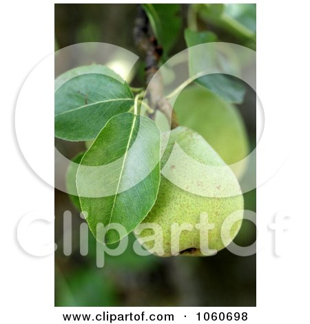 Pear Growing From A Tree - Royalty Free Stock Phot by Kenny G Adams
