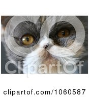 Persian Cat Face Stock Photo by Kenny G Adams