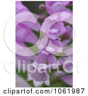 Photo Of Foxglove Stalk Full Of Bell Shaped Blooms Royalty Free Flower Stock Photography by Kenny G Adams