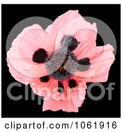 Photo Of Pink Oriental Poppy Royalty Free Flower Stock Photography by Kenny G Adams