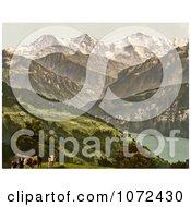 Photochrom Of Cows Near Lake Thun Switzerland Royalty Free Historical Stock Photography